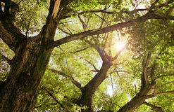 starzy drzewa Zdjęcie Royalty Free
