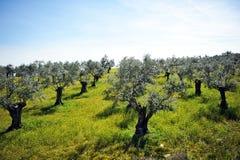 Starzy drzewa oliwne na skłonie wzgórze, Andalusia, Hiszpania Fotografia Royalty Free