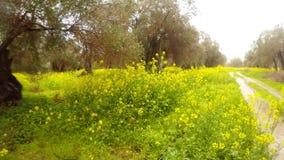 Starzy drzewa oliwne w dolewanie deszczu zakopują w polu gwałtów kwiaty, panorama droga gruntowa, głęboka zima w Cypr zbiory