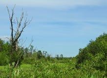 Starzy drzewa w bagnie, Lithuania Obrazy Royalty Free