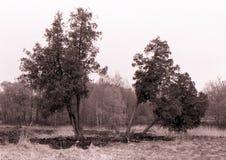 Starzy drzewa w polanie Horyzontalny monochromu krajobraz Zdjęcie Royalty Free