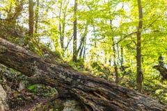 Starzy drzewni k?amstwa na turystycznym ?ladzie w lesie zdjęcia stock