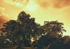 Starzy duzi drzewa z zmierzchu nieba tłem zdjęcia royalty free