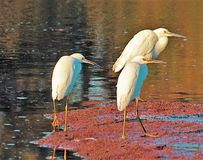 Starzy i charłaccy Egrets zdjęcie royalty free