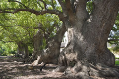 Starzy kamforowi drzewa Obraz Stock
