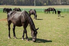 Starzy Kladrub czerni konie Obraz Royalty Free