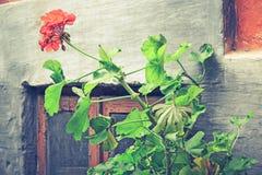 Starzy okno i kwiatu garnków bodziszki w Tuscany, Włochy Z kwiatami stary okno Ruderowaci okno z łamanym szkłem obraz stock