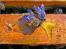 starzy pszczół potomstwa Zdjęcia Royalty Free