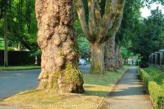 Starzy Vancouver drzewa Zdjęcie Stock