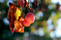 Starzy winogrona Obraz Royalty Free