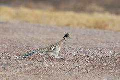 State Bird of New Mexico royalty free stock images