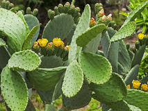 State of bloom and buds of prickly pear in spring in Calabria. Royalty Free Stock Photography