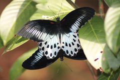 Blue Mormon butterfly Royalty Free Stock Photo