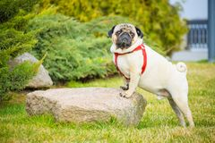 A stately dog pug in a red collar is standing on a stone in the green grass. Against the background of coniferous bushes in the city spring park royalty free stock images