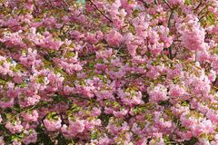 Stately flowering Japanese cherry at the former Berlin wall Royalty Free Stock Photos
