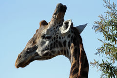 Stately giraffe. A stately giraffe looks over its shoulder on the Masai Mara in Kenya royalty free stock photos