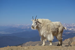 Stately Mountain Goat Royalty Free Stock Images
