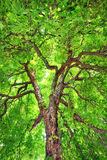 Stately Old Chestnut Tree. Looking up into a stately, old, Horse-chestnut tree Royalty Free Stock Photos