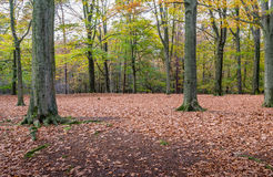 Stately old oak trees in the autumn forest Royalty Free Stock Images