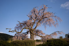Stately old tree in full bloom, Japan. A famous cherry tree in full bloom, Kyoto, Japan Stock Image