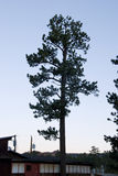 Stately Pine Silhouette Royalty Free Stock Image