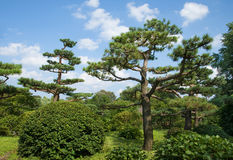 Stately Pines Stock Images