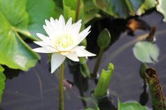 Purity of all white tropical water lily. Stately purity of pure white form water lily rising above the water Stock Images
