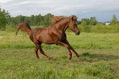 Stately red arabian horse gallop's Royalty Free Stock Photo