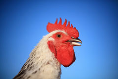 Stately rooster Stock Photos