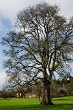 Stately Tree Stock Photography
