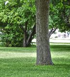 Stately trunk of a Cottonwood tree Royalty Free Stock Photography