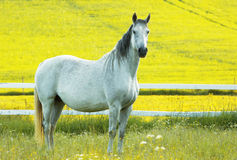 A stately white horse. In the horse paddock, posing in front of the yellow fields stock photography