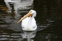 Stately white pelican swimming in a pond. stock image