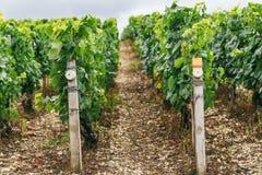 Stati di coltivare l'uva in Francia Fotografia Stock