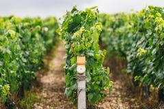 Stati di coltivare l'uva in Francia Immagini Stock