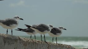 Static shot of seagull birds standing on concrete wall with tropical florida beach waves crashing behind them