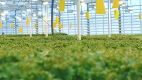 Static transition of a front view into background view of green lettuce plants. 4K stock footage