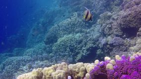 Static video, coral reef in the Red Sea, Abu Dub. Beautiful underwater landscape with tropical fish and corals. Life coral reef. Egypt stock video footage