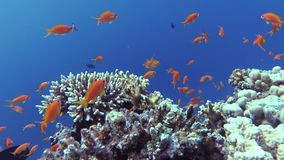 Static video, coral reef in the Red Sea, Abu Dub. Beautiful underwater landscape with tropical fish and corals. Life coral reef stock video