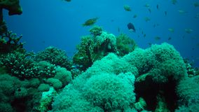 Static video, coral reef in the Red Sea, Abu Dub. Beautiful underwater landscape with tropical fish and corals. stock video
