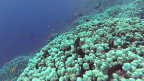 Static video, coral reef in the Red Sea, Abu Dub. Beautiful underwater landscape with tropical fish and corals. stock footage