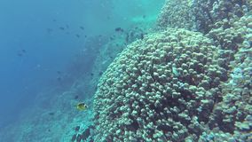Static video, coral reef in the Red Sea, Abu Dub. Beautiful underwater landscape with tropical fish and corals stock video