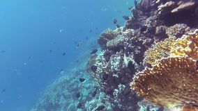 Static video, coral reef in the Red Sea, Abu Dub. Beautiful underwater landscape with tropical fish and corals stock footage