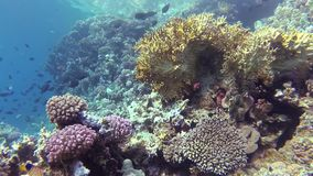 Static video, coral reef in the Red Sea, Abu Dub. Beautiful underwater landscape with tropical fish and corals. Life coral reef. Egypt stock footage