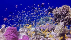 Static video, coral reef in the Red Sea, Abu Dub. Beautiful underwater landscape with tropical fish and corals. Life coral reef. Egypt stock video