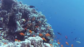 Static video, divers and coral reef in the Red Sea, Abu Dubb. Beautiful underwater landscape with tropical fish and corals. Static video, coral reef in the Red stock footage