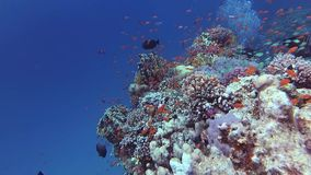 Static video, divers and coral reef in the Red Sea, Abu Dubb. Beautiful underwater landscape with tropical fish and corals. Life coral reef. Egypt stock video footage
