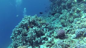 Static video, divers and coral reef in the Red Sea, Abu Dubb. Beautiful underwater landscape with tropical fish and corals. Life coral reef. Egypt stock video