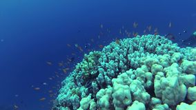 Static video, coral reef in the Red Sea, Abu Dub. Beautiful underwater landscape with tropical fish and corals. Static video, divers and coral reef in the Red stock video footage