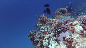 Static video, coral reef in the Red Sea, Abu Dub. Beautiful underwater landscape with tropical fish and corals. Static video, divers and coral reef in the Red stock video